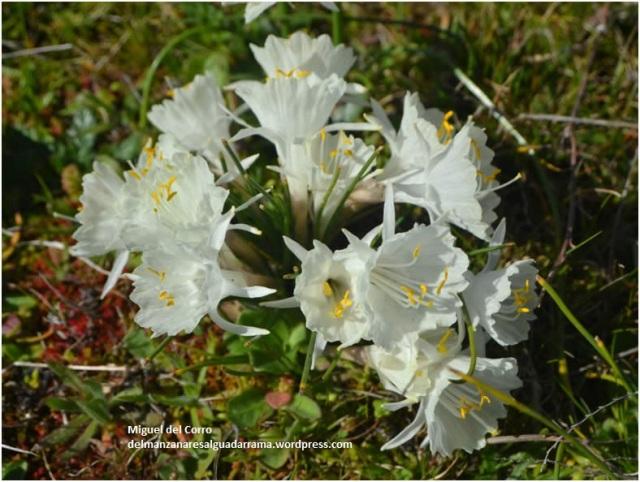 Narcissus cantabricus 1
